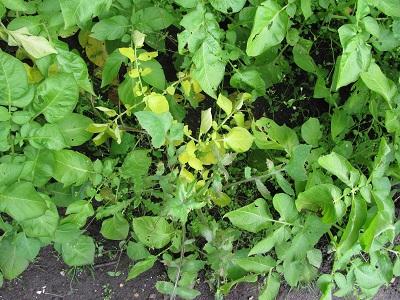 Aardappelveld 1 rot