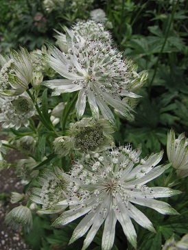 Astrantia Giant White