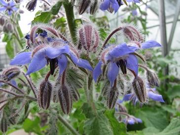 Borago officinalis bloem 1
