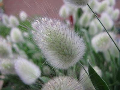 Lagurus ovatus Bunny Tails 2