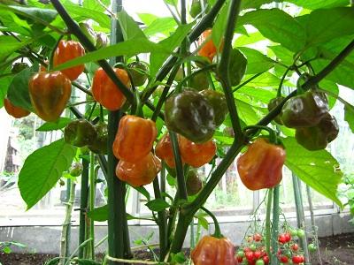 Peper CGN 21500 plant 1