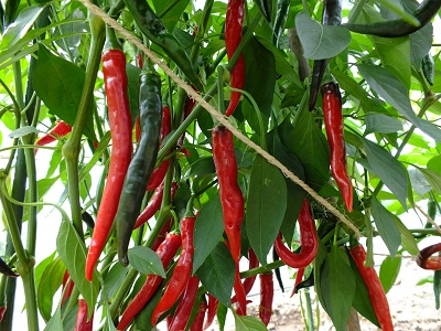 Peper Cayenne Ring of Fire plant