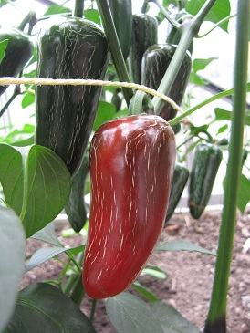Peper Jalapeno Fooled You plant 2
