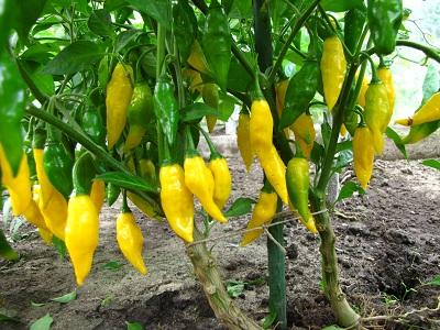 Peper Limon rijp aan plant 1
