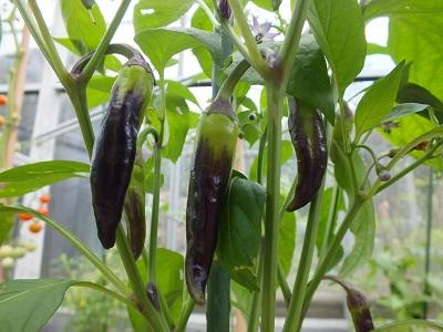 Peper Tazmanian Black plant