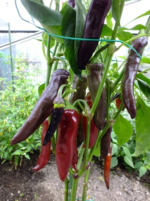 Peper Tazmanian Black plant 2