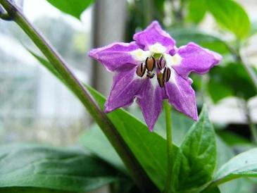 Peper pubescens bloem