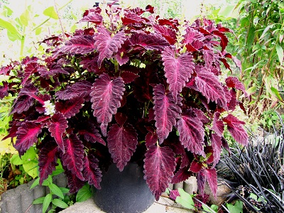 Pot met Coleus Black Dragon