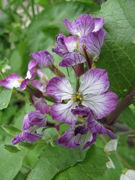 Rattenstaartjes bloei paars