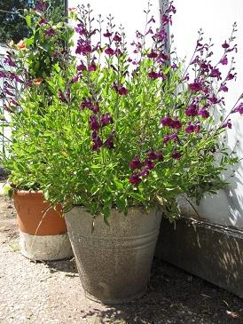 Salvia microphylla Nachtvlinder in pot