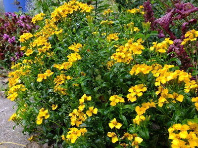 Tagetes lucida bloeit nog steeds in november