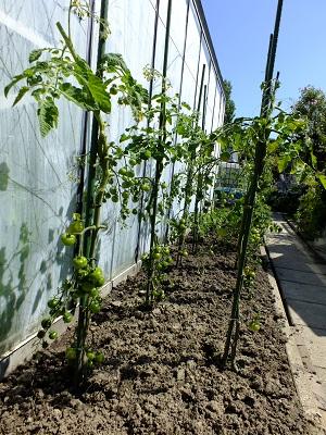 Tomaat Besser planten voor kas 3
