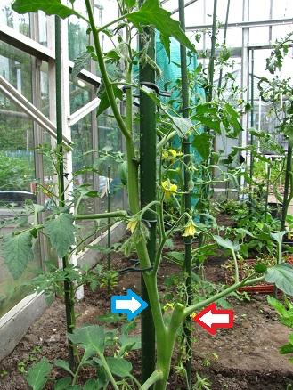 Tomaat gesplitst en daarna gediefd 1