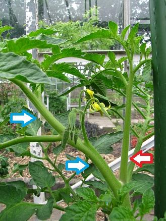 Tomaat met grote dief