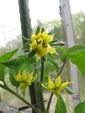 Tomaten bloemen