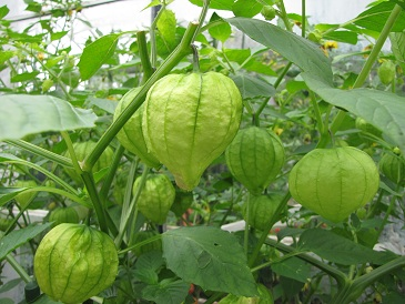 Tomatillo lampion
