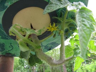 Topsy Turvy tomaat groeit omhoog