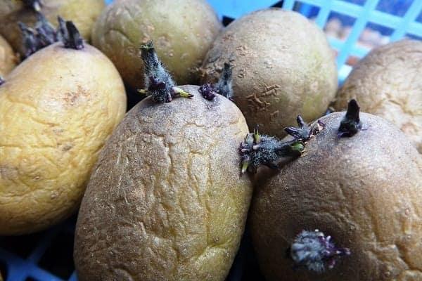 aardappel spruiten