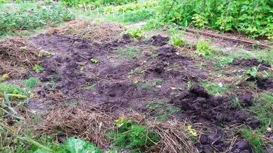 Aardappel Solist de grond erna