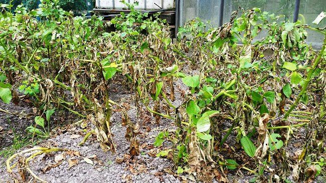 Aardappel phytophthora planten