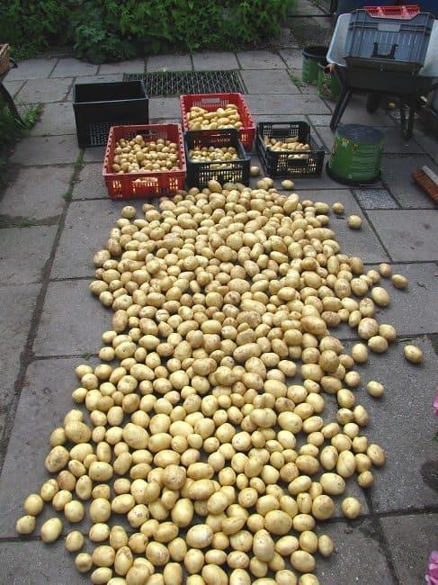 Aardappelen geoogst