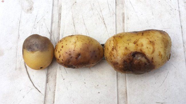 Aardappelen phytophthora