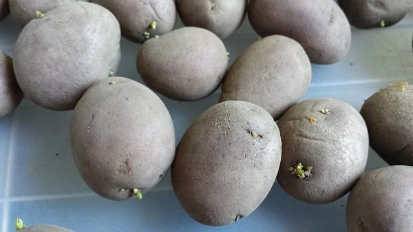 Aardappelen spruiten