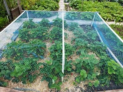 Aardbeien onder net