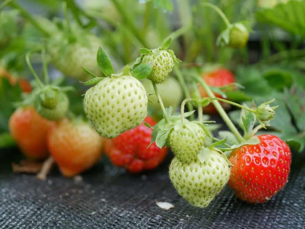 Aardbeien Planten Kopen Intratuin.Aardbei Diana S Mooie Moestuin
