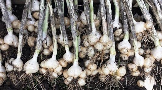 Allium ampeloprasum Oerprei oogst