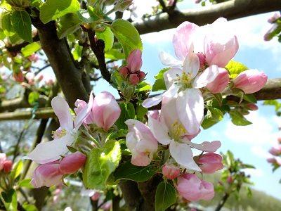 Appelboom gaat bloeien