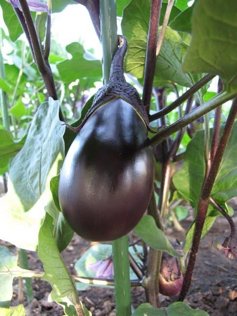 aubergine-early-black-egg
