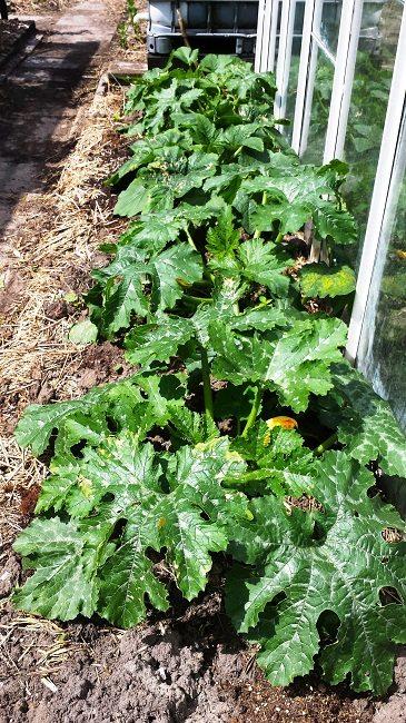 Rij courgetteplanten, op mest, voor de kas (lekker warm)
