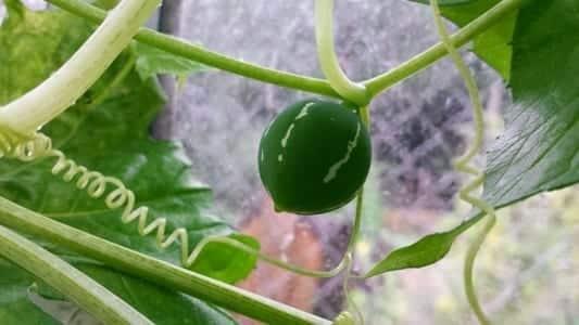 Diplocyclos palmatus onrijp