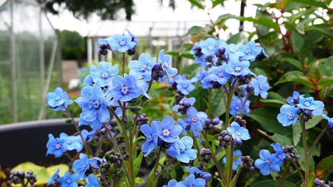 Eritrichium canum Baby Blue