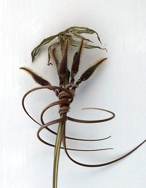 Erodium gruinum zaden