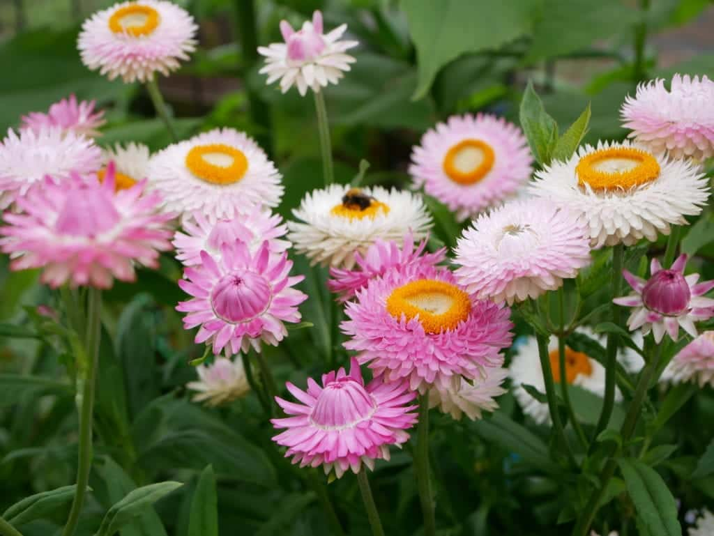 Helichrysum bracteatum Silvery Rose