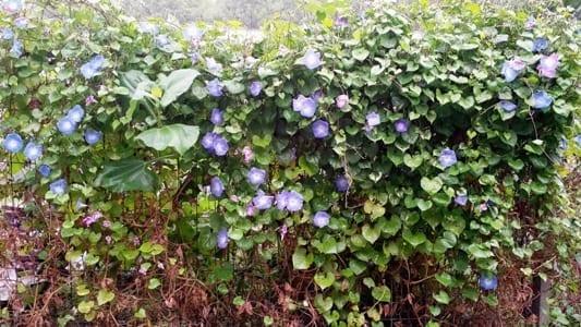 Ipomoea Heavenly Blue 2