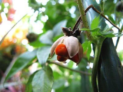 Ipomoea transvaalensis zaden