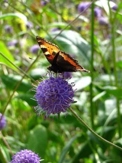 Knautia godetii met vlinder