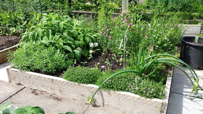 Een verhoogde bak met Mediterrane kruiden; de salie, rozemarijn, dragon, oregano, tijm groeien meer dan prima en ik kan er al volop van oogsten.