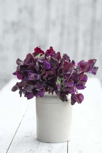 Lathyrus odoratus 'Almost Black' - Sweet Pea