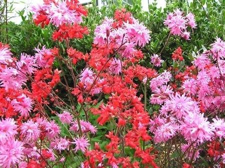 Lychnis plus Heuchera roze met rood