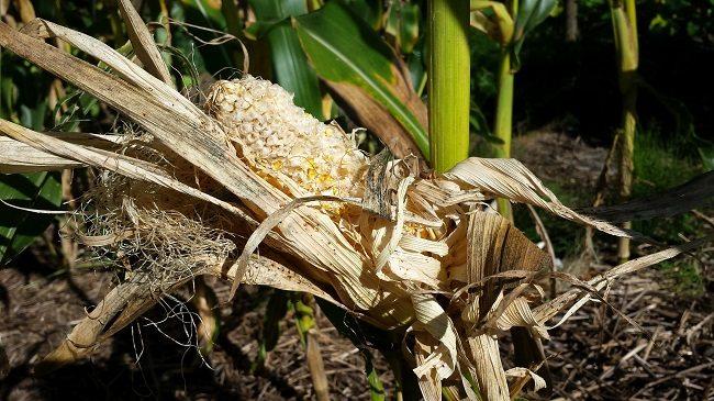 Mais aangevreten
