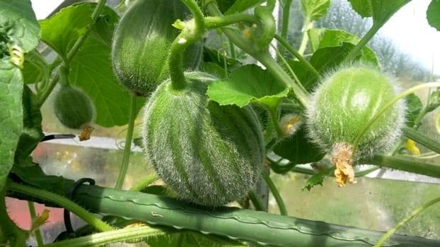 Meloen Minnesota Midget plant