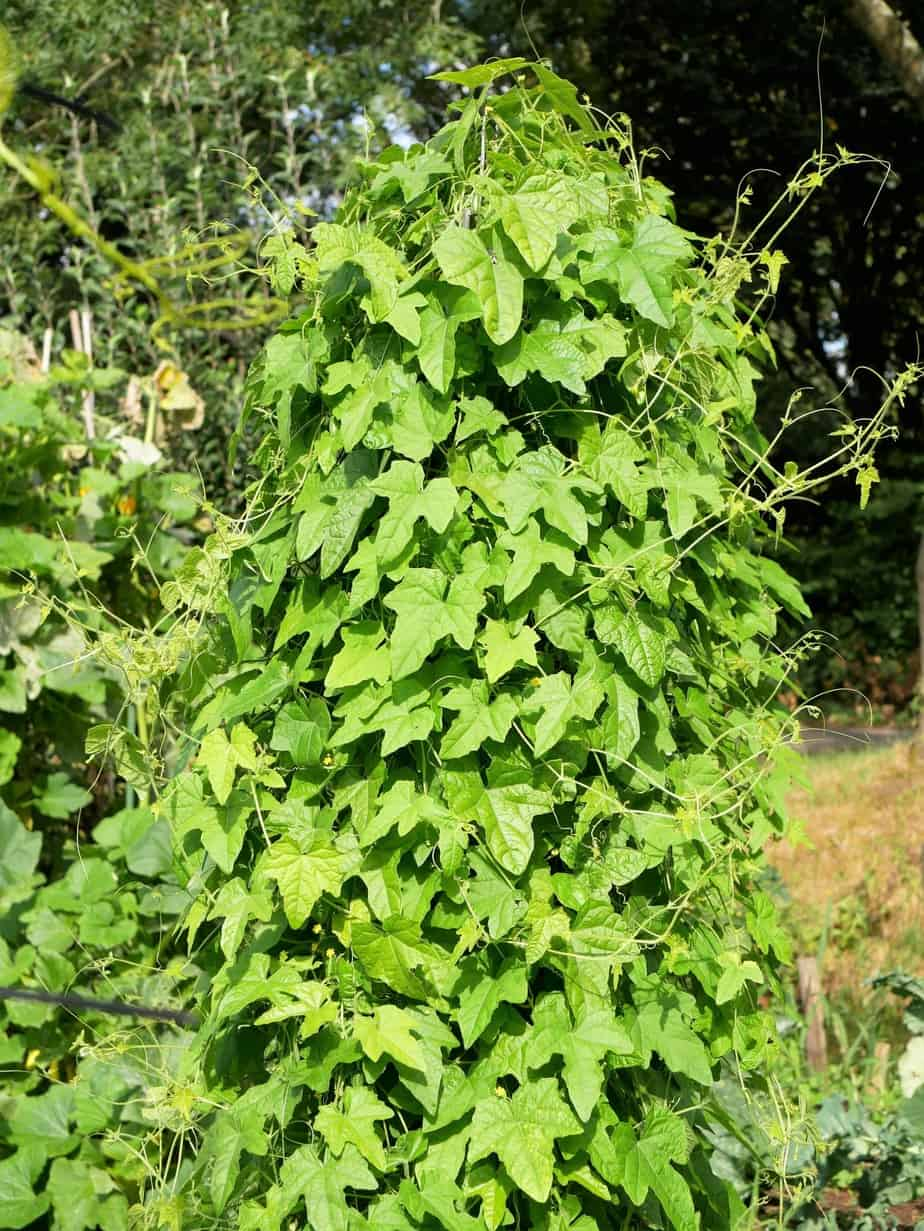 Cucamelon plant groot