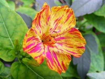 Mirabilis jalapa Yellow and Red Marbles