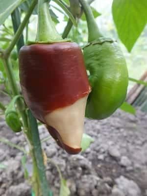 Paprika Neusrot