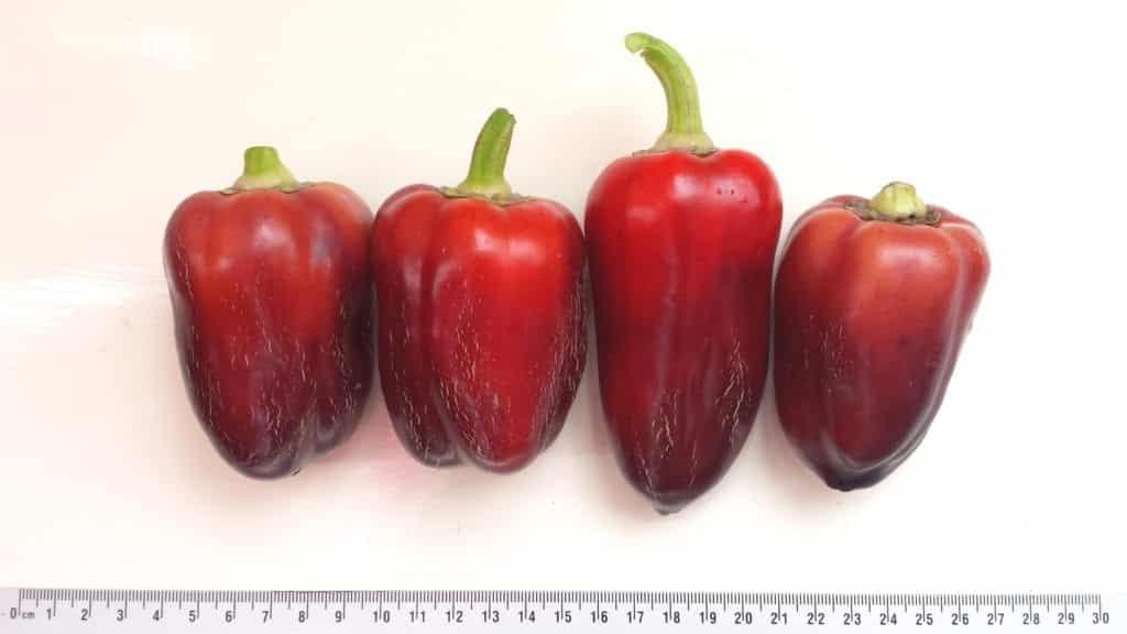 Paprika Oda