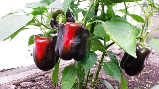 Paprika Purpurnij Kolokol plant